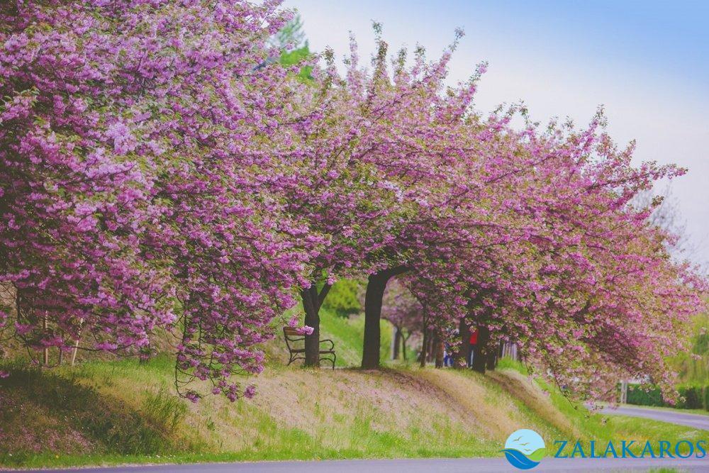 Zalakaros virágzó fák a Berke Apartmantól 500 méterre